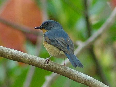 ミヤマヒメアオヒタキ(Hill Blue Flycatcher) IMGP29872_R