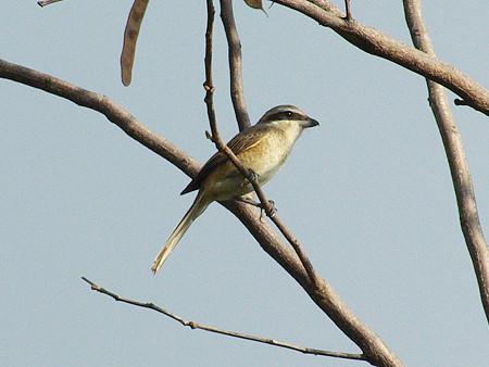 アカモズ(Brown Shrike) IMGP48250_R