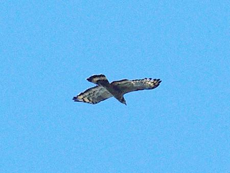 ハチクマ? (Oriental Honey-buzzard) IMGP48405_R(640)