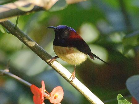 ムナグロタイヨウチョウ♂(Black-throated Sunbird) IMGP50571(LR)_R2