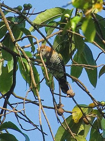 ミドリテリカッコー(Asian Emerald Cuckoo) IMGP48843(LR)-800R