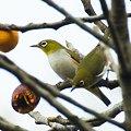 写真: チョウセンメジロ(Chestnut-flanked White-eye) IMGP54297_R