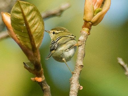 キマユムシクイ(Yellow-browed Warbler) IMGP54450_R