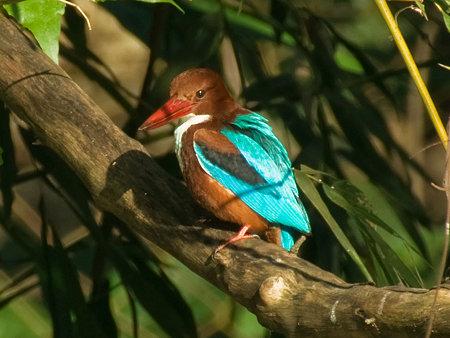 アオショウビン(White-throated Kingfisher) IMGP55158_R