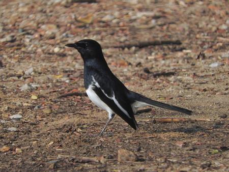 シキチョウ(♂)(Oriental Magpie Robin) DSCN2453_RS2