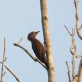 クリチャゲラ(Rufous Woodpecker) DSCN2470_RS