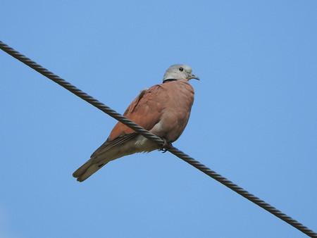 ベニバト(Red Collared-Dove, Red Turtle-Dove) DSCN2944_RS