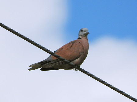 ベニバト(Red Collared-Dove, Red Turtle-Dove) DSCN2924_RS