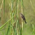 Photos: ハシブトオオヨシキリ(Thick-billed Warbler) DSCN2860_R