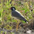 写真: インドトサカゲリ(Red-wattled Lapwing) DSCN2791_RS