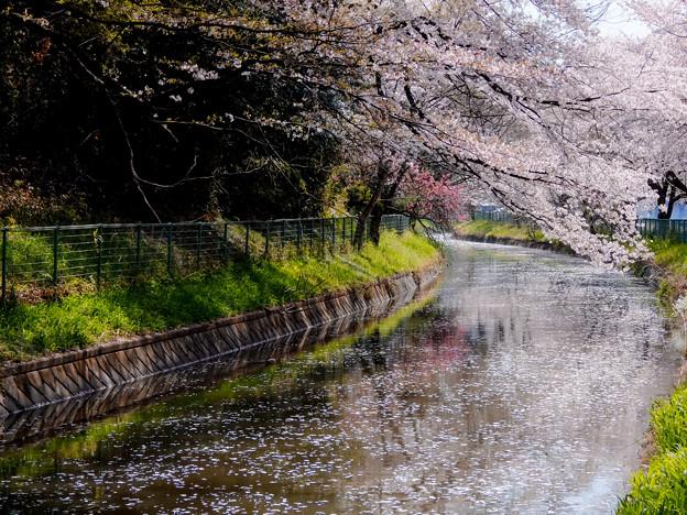 写真: 桜のサイクリングロード