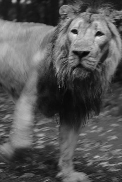 ライオン_4263