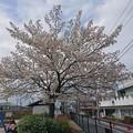 Photos: 桜3
