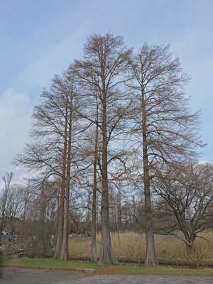 水元の木2