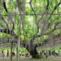 写真: 樹齢150年の大藤
