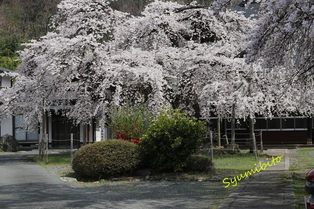 高仙寺のしだれ桜 (山形県上山市)