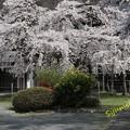 Photos: 高仙寺のしだれ桜 (山形県上山市)