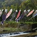 Photos: 高瀬地区 鯉のぼり