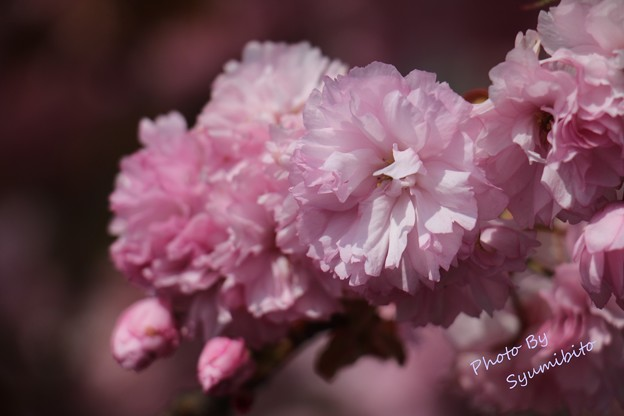 八重桜 立谷川にて 5月3日