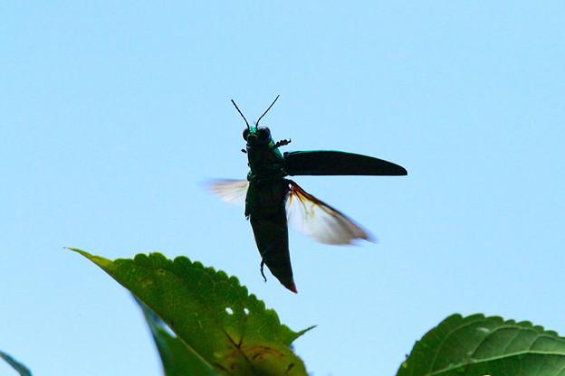 玉虫飛び立つ