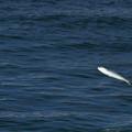 写真: 魚ジャンプ1