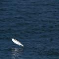 写真: 魚ジャンプ4