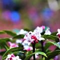写真: 沈丁花