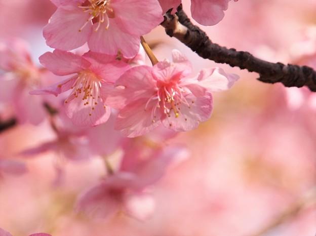 写真: 春色ピンク
