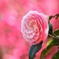 写真: ピンクの季節