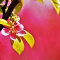 写真: 花梨の花