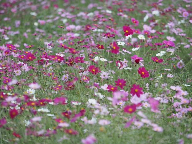 昭和記念公園のコスモス