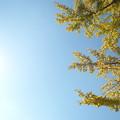 写真: 晴天とイチョウ