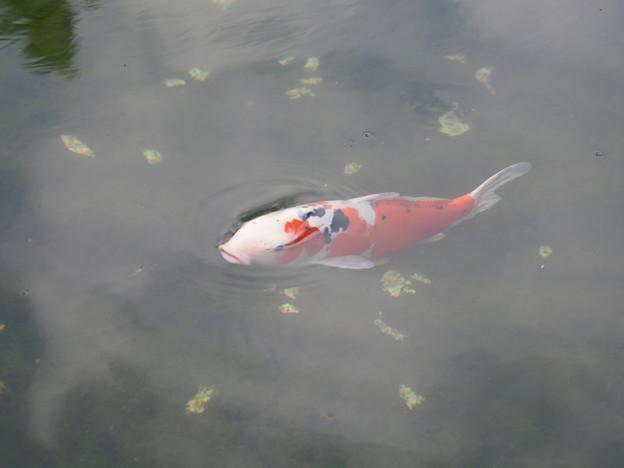 Photos: 錦鯉浮上