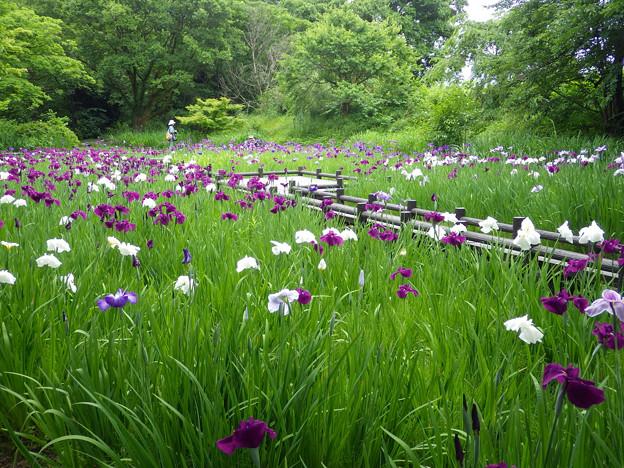 滑川市行田公園の花しょうぶ