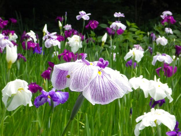 滑川行田公園の花しょうぶ