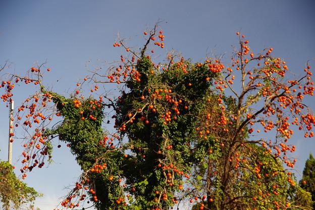 変わった柿の木