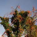 写真: 変わった柿の木
