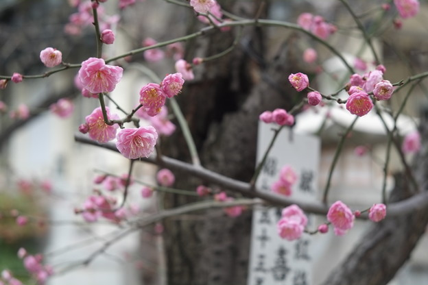 難波八坂神社の梅