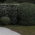 雪舟寺雪椿の庭