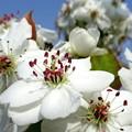 写真: 梨の花