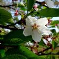 写真: 見納めの桜