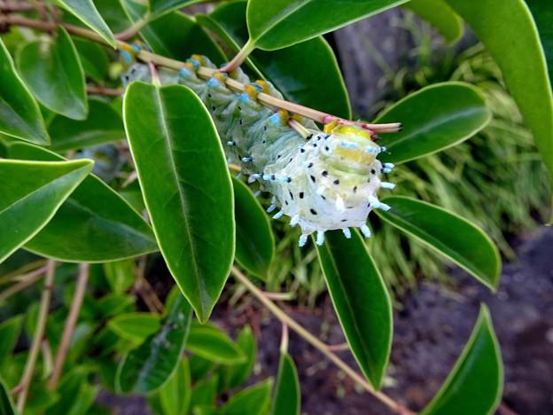 写真: シンジュサンの幼虫