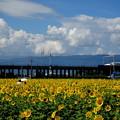 Photos: ひまわり畑と新幹線