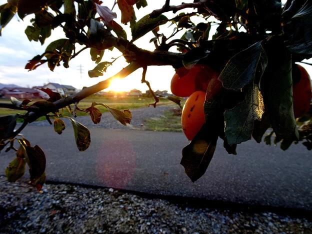 夕陽に照らされた渋柿
