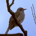 写真: 梅林のヒヨドリ