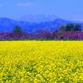 写真: 菜の花と飯綱山