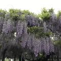 写真: 別院の藤の花