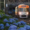 写真: 紫陽花と電車