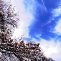 写真: 青空と桜満開