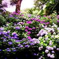 写真: 紫陽花達